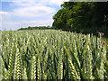 TL2427 : Ten Acre Plantation, Graveley by Paul Dixon