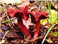 SU5870 : Fungi/Mushrooms in Woodland near Chapel Row by Pam Brophy