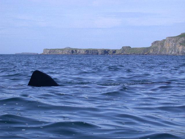 Basking Shark Off Lunga, Treshnish Isles