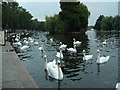 SU9677 : Swans on the river at Windsor by Richard Rimmer