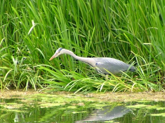 Heron at Billingham Beck Country Park