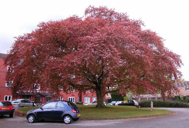 Copper Beech Tree, Woodhey Court, Alma Road, Sale
