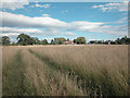 SJ3669 : Rough Grass by Dennis Turner