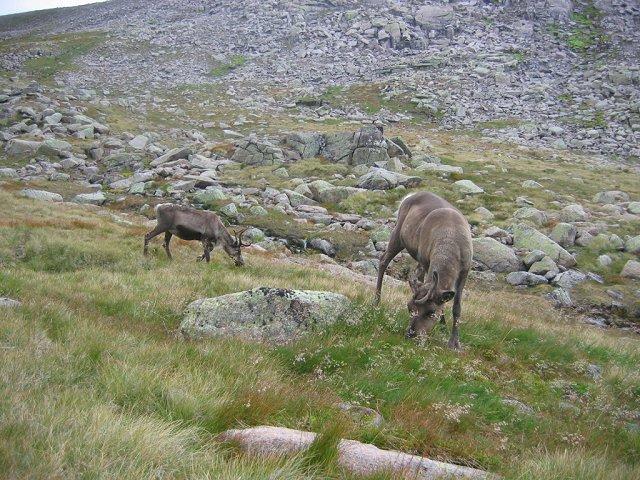 Reindeer, Ben MacDui.