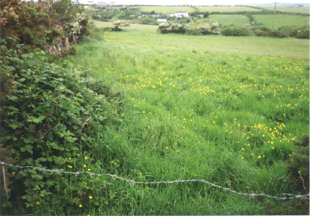 Buttercup meadow north of Mithian