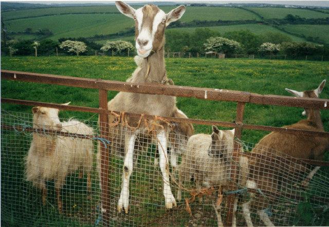 Grinning goat of Trevellas