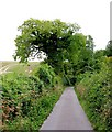 SU6021 : Ivy-covered Oak in The White Way by Peter Facey