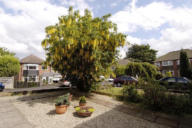 Laburnum tree in Orford Road