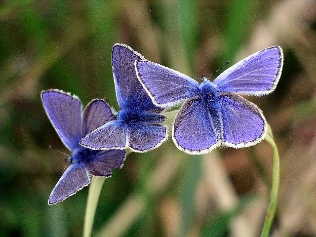 Common Blue (male), Polyommatus icarus.