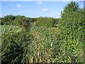 TQ6086 : Reed beds, Bury Farm, Upminster by John Winfield