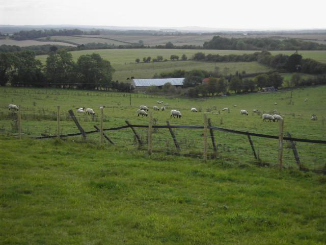 Sheep at Walkeridge Farm