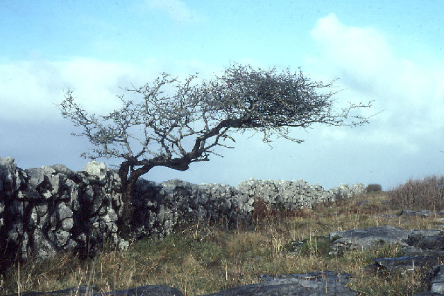 Hawthorn at Glenisheen
