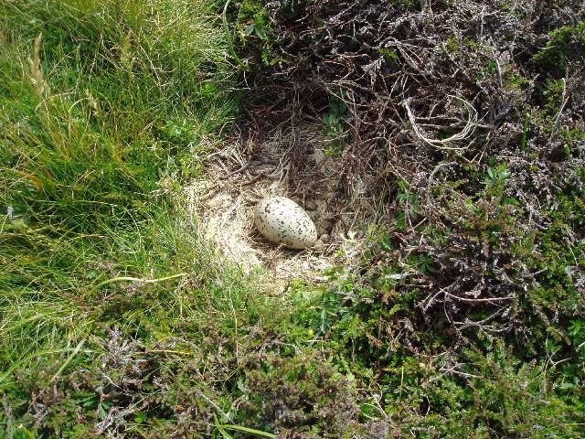 Oystercatcher Egg