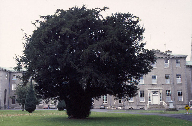 Silken Thomas Yew, St Patrick's College, Maynooth.