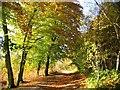 SJ5671 : More Autumn Colour, Delamere Forest by David Crocker