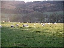 NT2538 : Field near Bonnington with sheep by Chris Eilbeck