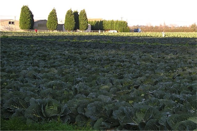 Winter Cabbages