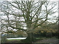 SS9129 : majestic hedge bank beech (Fagus Sylvatica) by michael