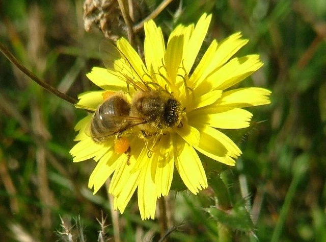 Honey bee on bristly ox tongue at Minet Country Park