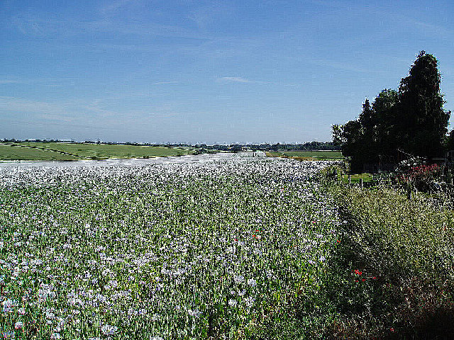 A field of White Poppies.
