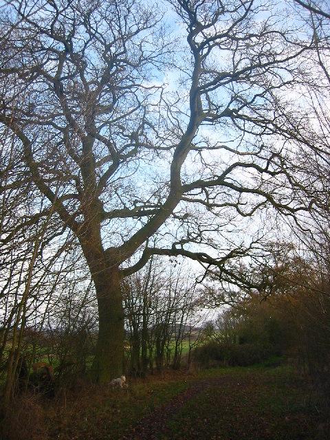 Oak tree on Lolleywood Lane