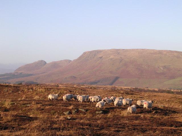 Sheep on Craigmaddie Muir