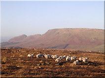 NS5876 : Sheep on Craigmaddie Muir by Chris Upson