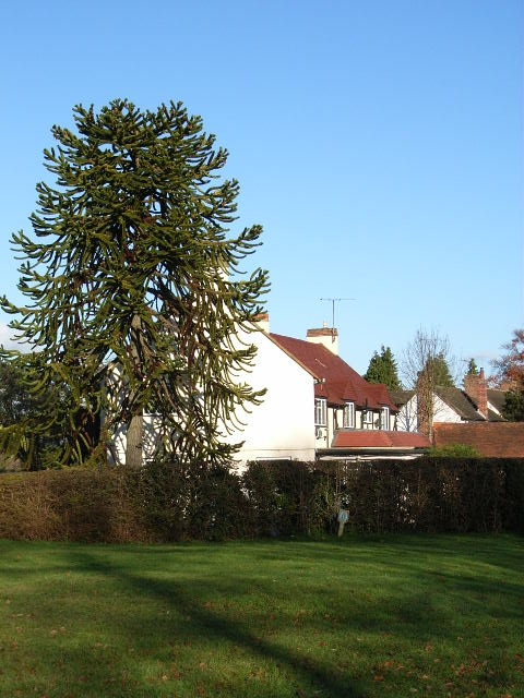 Monkey puzzle tree and houses, Old Bath Road, Sonning