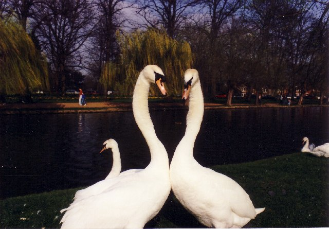 Swans by the River Ouse, Bedford