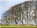 NZ0288 : Beech Trees 2 by Christine Westerback