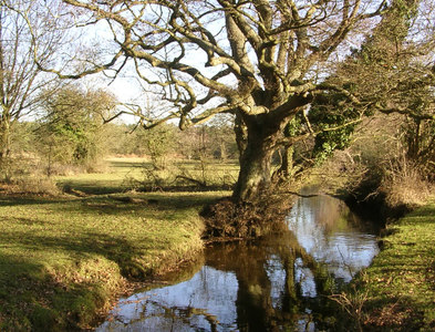 SU3308 : Old oak alongside the Beaulieu River at Fulliford, New Forest by Jim Champion