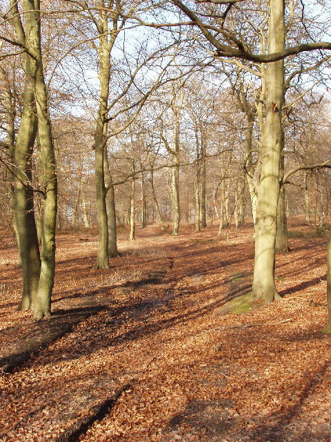 Beech Wood near Little Marlow