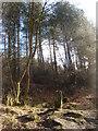 SD6220 : Wheelton Plantation by Margaret Clough