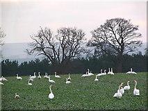 NT6378 : Swans near Hedderwick by Alastair Seagroatt