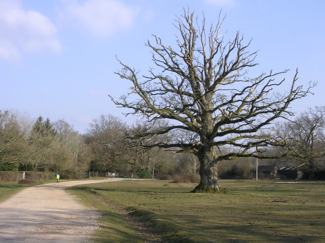 Oak on the green, Bartley, New Forest