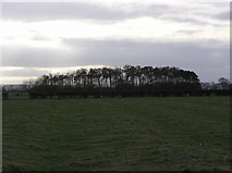 NZ2911 : Copse near footpath from Hurworth to Snipe Lane by Hugh Mortimer