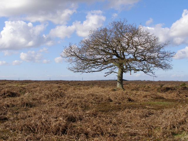 Lone tree north of the Islands Thorns Inclosure, New Forest