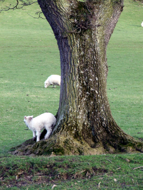 Lamb  scratching itself against a tree