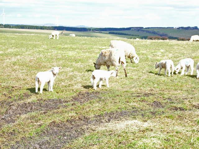 Sheep at Sunniside, near Crook