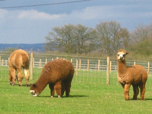 Alpacas at Ossory Farm