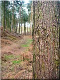 TL0138 : Pine woodland of Moor Close by Paul Dixon