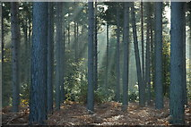 SU8565 : Crepuscular rays in Swinley Forest/Crowthorne Wood by Colin Haywood-Gray