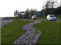 NZ3272 : Follow the Blue Crocus Road by Richard Armstrong