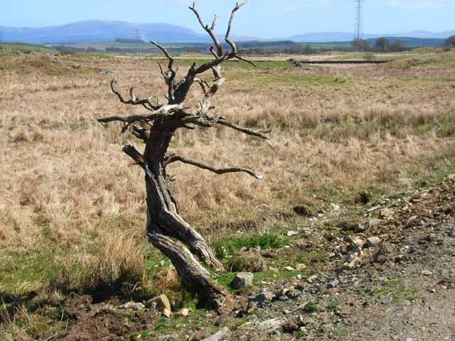 Mrs Johnston's tree near Culvennan Fell