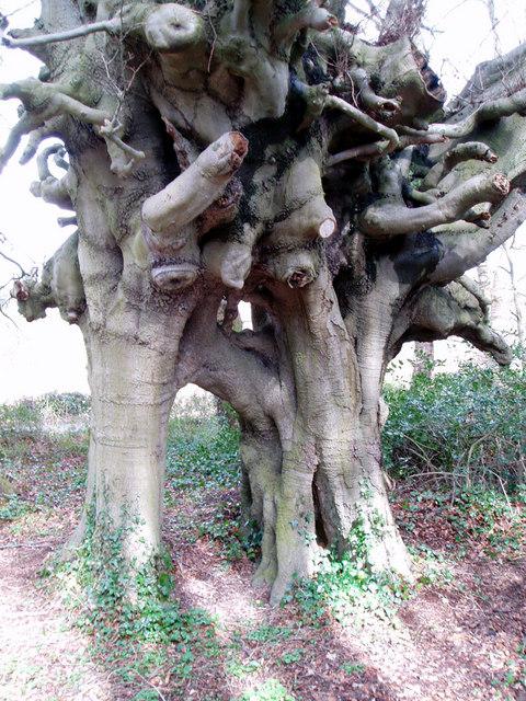 John Wesley's beech trees, Lambeg, Co. Down