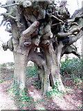 J2866 : John Wesley's beech trees, Lambeg, Co. Down by Alex Cameron