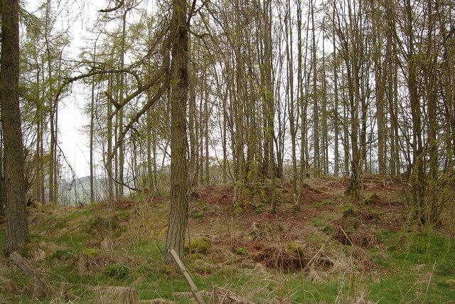 Woodland on road between Kirriemuir and Airlie.