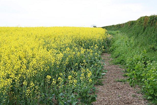 A Field of Oilseed Rape