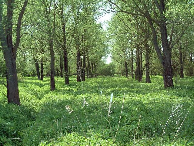Bat willows near Glynde Reach