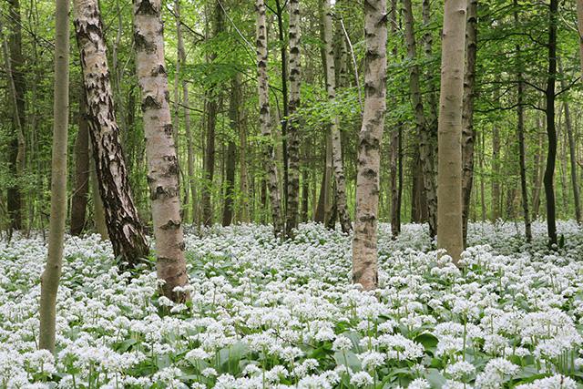 Ramsons flowering in Bushy Copse, Longwood